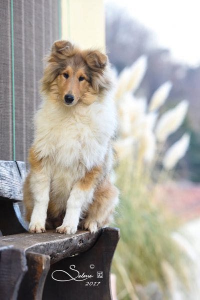 Cuccioli di collie allevamento dell incantamonte vicenza