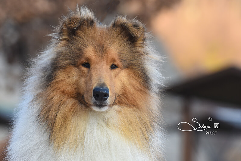 allevamento collies maschi dell incantamonte vicenza