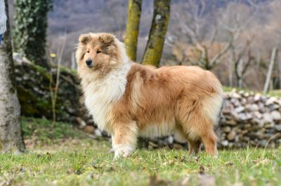 Allevamento collies dell incantamonte vicenza